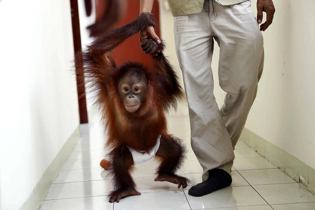 An Orangutan named Hang Lipo, aged 1 year and 6 months, walks out from a blood collection center at the Bukit Merah island foundation in Perak, Malaysia, on Oktober 20, 2013. The island's primate population has increased to 24 Orangutans that are from Borneo and Sumatra. (Photo by Samsul Said/Reuters)