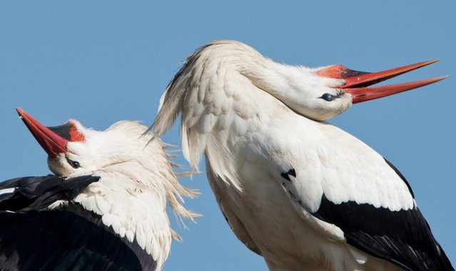 Storks are seen in Biebesheim, central Germany on March 9, 2015 as the sun shines. (Photo by Boris Roessler/AFP Photo/DPA)