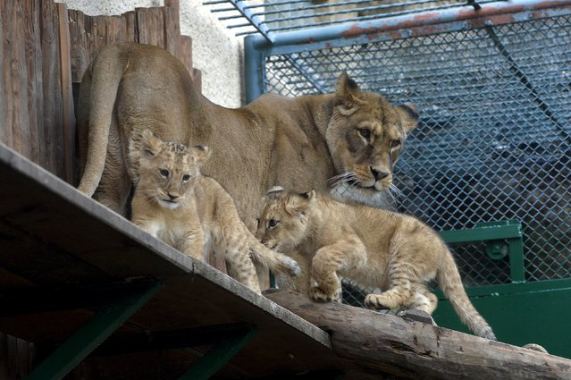 Two fourteen-week old Barbary lions (Panthera leo leo), a male named Ramzes and a female named Zara with their mother named Gina, are seen after a naming ceremony at the Bojnice Zoo April 4, 2015. (Photo by Radovan Stoklasa/Reuters)