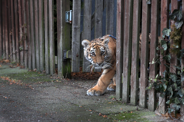 Elsa the 4- month- old Siberian tiger cub in the undergrowth at Barendorf beach near Dassow, Germany, 9 January 2017. Elsa was born in a travelling circus and was rejected by her mother, so the Farell family from Luebeck have been rearing her by hand for weeks. The young animal is due to move from the family' s home to its own enclosure at the Tigerpark Dassow zoo in March. (Photo by Jens Büttner/DPA/Zentralbild)