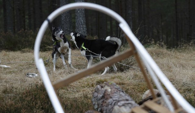 Dogs play together during practice for the Aviemore Sled Dog Rally in Feshiebridge,  Scotland, Britain January 24, 2017. (Photo by Russell Cheyne/Reuters)