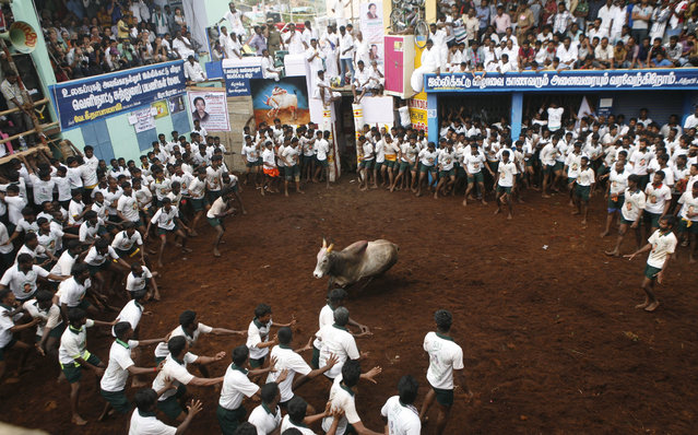 Participants scramble on for safety as a bull charges towards them during a bull-taming sport, called Jallikattu, in Alanganallor, about 424 kilometers (264 miles) south of Chennai, India, Thursday, January 16, 2014. (Photo by Arun Sankar K./AP Photo)