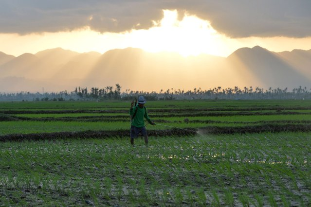 A farmer sprays pesticide on a rice field as the sun sets in the super Typhoon Haiyan stricken town of Santa Fe, in Leyte province, central Philippines on February 17, 2014, as the Philippines marks 100 days since the devastating storm. (Photo by Ted Aljibe/AFP Photo)