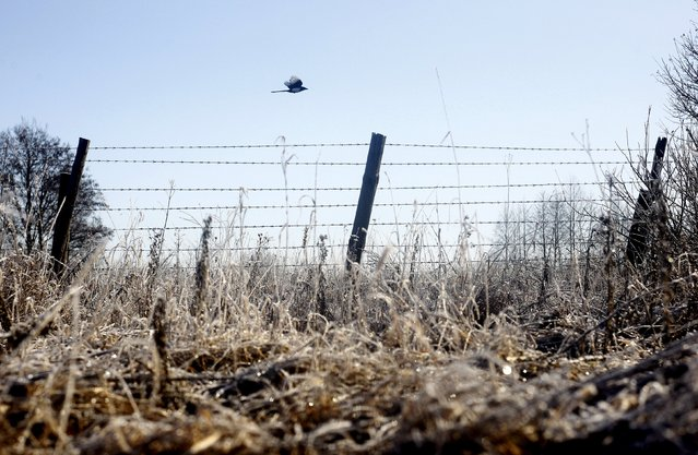 A magpie flies over a barbed wire fence at the 30 km (19 miles) exclusion zone around the Chernobyl nuclear reactor near the abandoned village of Babchin, Belarus, February 18, 2016. (Photo by Vasily Fedosenko/Reuters)