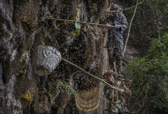 Chinese ethnic Lisu honey hunters Dong Haifa, top, and Mi Qiaoyun stand on a makeshift rope ladder as they are surrounded by bees as they work together gathering wild cliff honey from hives in a gorge on May 11, 2019 near Mangshi, in Dehong prefecture, Yunnan province China. Gathering wild  honey is not for the faint of heart. To get it, honey hunters face swarms of bees and get stung repeatedly while suspended from rope ladders; lower hives can often be reached with wooden ladders or poles. Hunters suit up in protective gear and use smoke to scatter the giant Himalayan honey bees from their hives to reduce the risk of confrontation, but there are literally thousands of them in each hive. An adult Himalayan honey bee, the world's largest honey bee species, can measure 3 centimeters in size. The hunters never take honey from all of the hives in one area, leaving enough for the bees to ensure they will return the following season. Harvesting the honey has long been a cultural tradition and economic staple for the Lisu people, an ethnic group in the southwest mountainous areas of Yunnan province along China's border with Myanmar. The Lisu are known to move skilfully in the mountains, but there are fewer honey hunters still practising the dangerous and exhausting pursuit of collecting the honey from isolated cliffside hives. The tradition is also not immune to environmental change: some honey hunters claim they are finding fewer hives than in the past because bee populations are impacted by heavy pesticide use among local farmers and global warming. Cliff honey is considered purer and healthier than regular honey, and it is coveted by many in China where it typically sells for upwards of $50 U.S. per kilogram. A single hive can have many kilograms inside. (Photo by Kevin Frayer/Getty Images)
