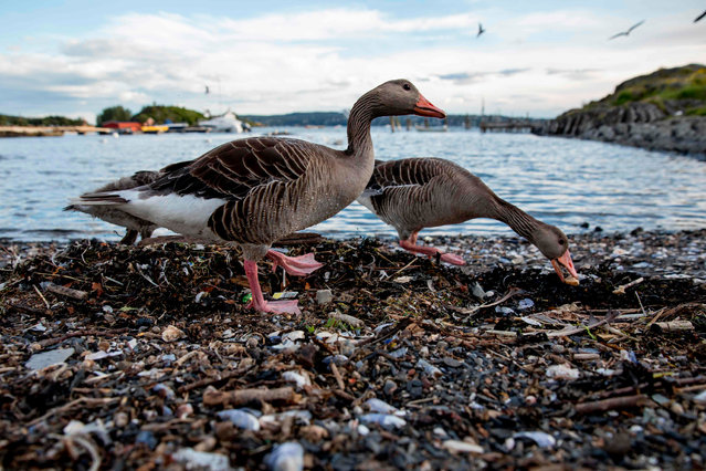 Greylag geese feed off scraps on a beach at Lindoya island in Oslo, Norway on July 3, 2019. (Photo by Odd Andersen/AFP Photo)