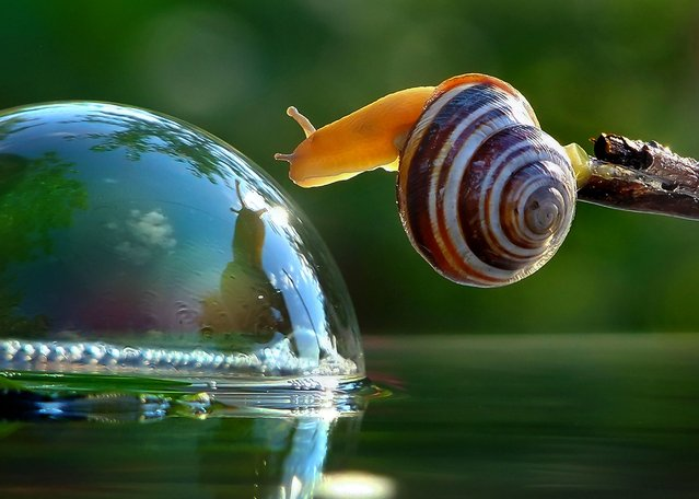 """A Snail's Life"". Photographer Vyacheslav Mischenko captures gorgeous macro photographs of snails near his hometown of Berdichev, Ukraine. After being taught to hunt for mushrooms as a child, Vyacheslav has grown up with a keen eye for spotting critters on the forest floor. Here, a snail takes shelter while perching on a leaf. (Photo by Vyacheslav Mischenko/Caters News)"