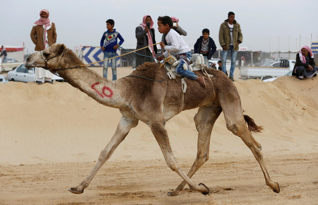 A child jockey competes on his mount during the opening of the International Camel Racing festival at the Sarabium desert in Ismailia, Egypt, March 21, 2017. (Photo by Amr Abdallah Dalsh/Reuters)