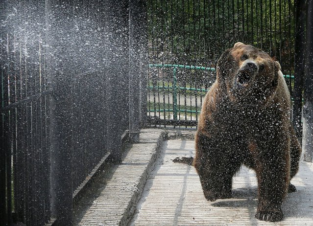 Buyan, a male Siberian bear, reacts while an employee cools it with a stream of water at the Royev Ruchey zoo on the suburbs of the Siberian city of Krasnoyarsk, Russia, July 3, 2015. (Photo by Ilya Naymushin/Reuters)