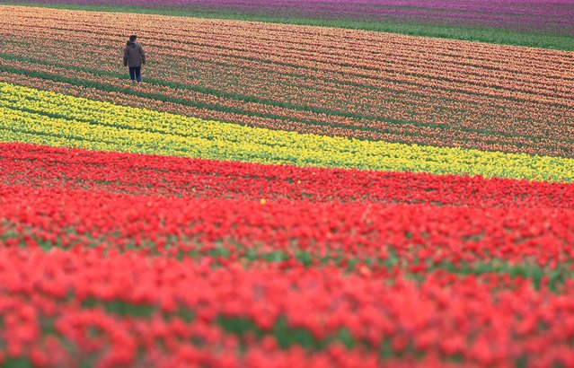 A worker stands in a tulip's field on April 15, 2014 in Schwaneberg, Germany. (Photo by Jens Wolf/AFP Photo/DPA)
