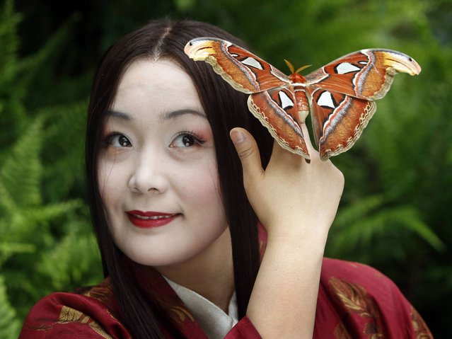 Lead soprano Hye-Youn Lee with a giant atlas moth at Butterfly World in Edinburgh Scotland, to promote Scottish Opera's upcoming production of Madama Butterfly, on May 7, 2014. (Photo by Danny Lawson/PA Wire)
