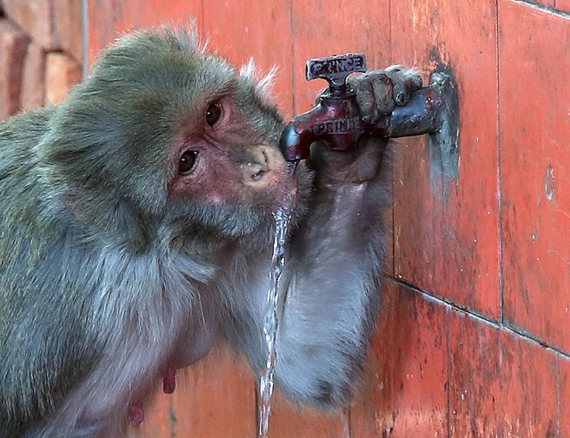 A monkey drinks water from a tap on a hot afternoon in Jammu, the winter capital Kashmir, India, 17 May 2016. Temperatures of around 42 degrees Celsius were forecast in the region. According to the news reports the Indian government decided to divert water by its river interlinking plans from rivers like Brahmaputra and the Ganges towards those rivers facing the drought likesituation . Many Indian states have been affected by drought and have been hit hard by water scarcity. (Photo by Jaipal Singh/EPA)