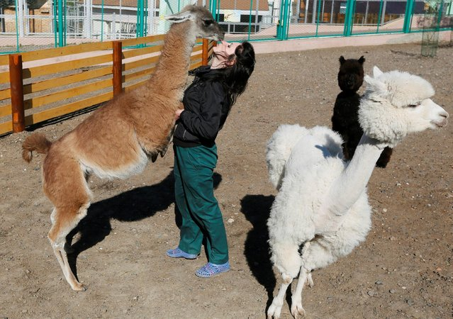 An employee plays with Bella, a one-year old guanaco, next to Romeo, a one-year old alpaca, and Juliette, a two-year old, after alpacas were groomed inside their open air cage at the Royev Ruchey Zoo in the suburbs of Krasnoyarsk, Siberia, Russia, May 24, 2016. (Photo by Ilya Naymushin/Reuters)