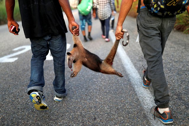 Migrants, part of a caravan traveling en route to the United States, carry an anteater that was hit by a car, according to them, as they walk on the road that links Arriaga and Tapanatepec, near Arriaga, Mexico, November 5, 2018. (Photo by Carlos Garcia Rawlins/Reuters)