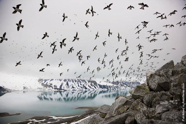Lyuriki (species of birds), nesting on the rocky shores of Svalbard (Svalbard)