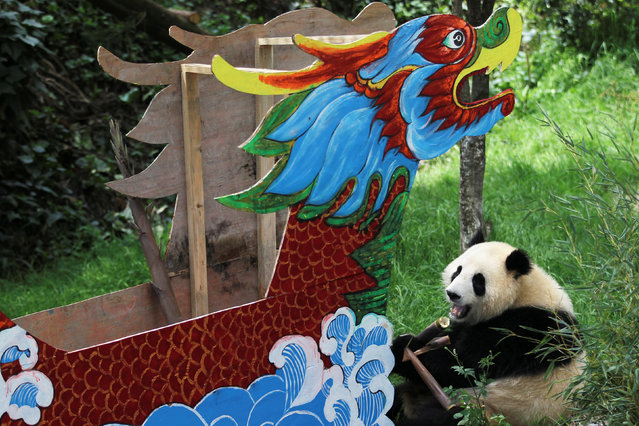 A giant panda eats bamboos beside a model of a dragon boat at a zoo ahead of China's annual dragon boat festival in Kunming, Yunnan Province, China, June 6, 2016. (Photo by Wong Campion/Reuters)