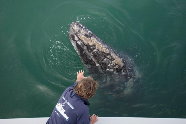 A grey whale comes towards a boat as a tourist puts his hand out in, Baja California, Mexico, March 2017. (Photo by  Mark Carwardine/Barcroft Images)