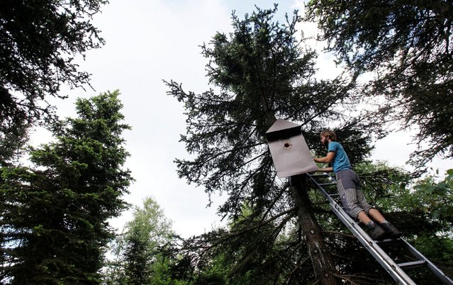 "Scientist Jiri Sindelar adjusts the ""Smart Nest Box"", which allows the study birds by using mounted cameras, on a tree in a forest near the village of Mikulov, Czech Republic, June 18, 2016. (Photo by David W. Cerny/Reuters)"