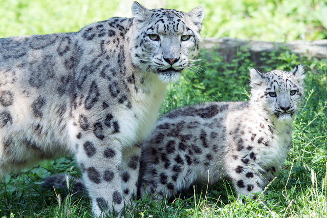 "Snow leopard mother Siri stands next to her male cub Barid on August 13, 2015 at the zoo in Cologne, western Germany. Barid, whose name means ""cloud"" in Tibetan language, was born at the zoo on May 8, 2015. (Photo by Federico Gambarini/AFP Photo/DPA)"