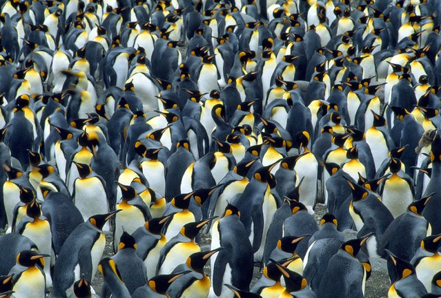 A colony of king penguins seen in South Georgia. (Photo by Jean Paul Ferrero/Ardea/Caters News)