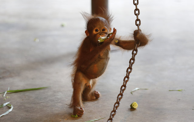 An orangutan new baby called Pang p*rn eats a banana and tries to stand holding a chain on the floor of its cage, at Pata Zoo, situated on the top floor of a shopping center, in Bangkok, Thailand, August 5, 2014. Zoos are popular in Thailand and are being encouraged by increasing tourism to the Kingdom, but the ethics of keeping animals in zoos is these days under question, and the quality of life for the animals forced to live in unnatural confinement is often criticized. (Photo by Barbara Walton/EPA)