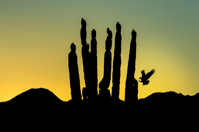 Fine art honorable mention | Turkey vultures near San Felipe in Baja California, Mexico. (Photo by Blake Shaw/Audubon Photography Awards)