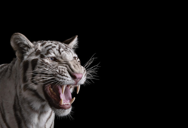 White tiger. (Photo by Brad Wilson)