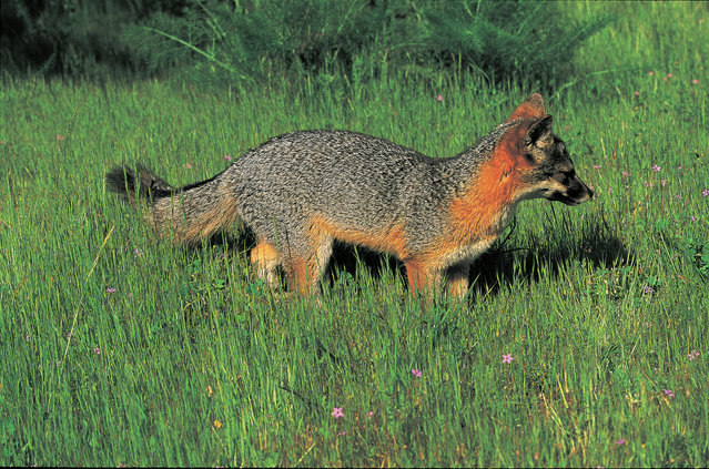 This undated photo provided by the U.S. Fish and Wildlife Service shows an island fox in Channel Islands National Park, Calif. (Photo by Tim Hauf/U.S. Fish and Wildlife Service via AP Photo)