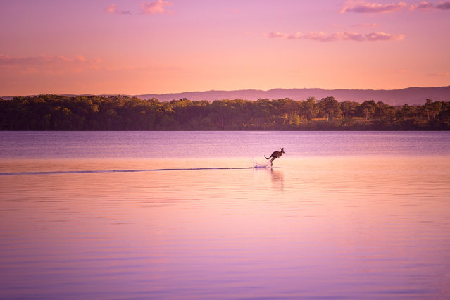 """Walking on Water"". I was finishing up a photo shoot when a wild kangaroo appeared out of nowhere and bounded onto the lake, as if walking on water. This, along with the picturesque sunset combined to create an absolute visual treat! Photo location: Noosa, Queensland, Australia. (Photo and caption by Dave Kan/National Geographic Photo Contest)"