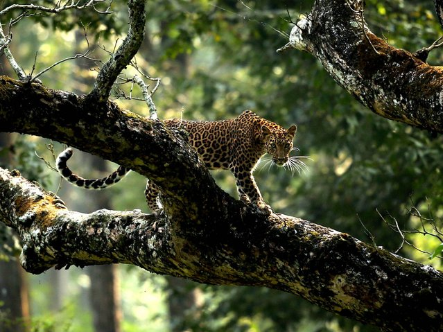 """Courage Doesn't Always Roar"". Kabini, Karantaka, India: Courage doesn't always roar by Nagarjun Ram. (Photo and caption by Nagarjun Ram/UK Society of Biology Photography Award 2014)"
