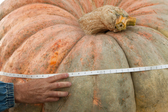 Official Great Pumpkin Commonwealth measurements are taken of Dean Busquaert's entry at the 41st Annual Safeway World Championship Pumpkin Weigh-Off  in Half Moon Bay, Calif., Monday, October 13, 2014. The first weigh-off was held in 1974. (Photo by Alex Washburn/AP Photo)