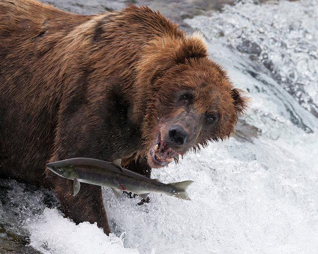 Dynamic ecosystems category winner: Zoe Davies. A brown bear catching sockeye salmon in Alaska. (Photo by Zoe Davies/University of Kent/British Ecological Society)