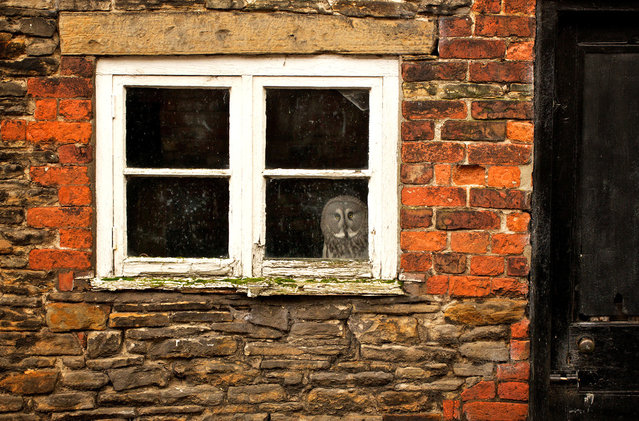 """I Like My House! This is Gandalf the Great Grey Owl and he gets scared flying out in the open so his owners have built his aviary inside a brick shed. He now loves spending his days watching the world go by out of his window"". (Photo and comment by Mark Bridger/National Geographic Photo Contest via The Atlantic)"