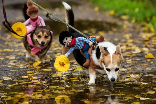 "Hundreds of festive, adorable canines and their owners took part in the annual ""A Very Corgi Howloween"" costume walk Saturday, Oct. 25, 2014, at Green Lake in Seattle, Wash. The walk was put on by the Seattle-local ""Corgi's R Us"" MeetUp group. (Photo by Jordan Stead/AP Photo/Seattlepi.com)"