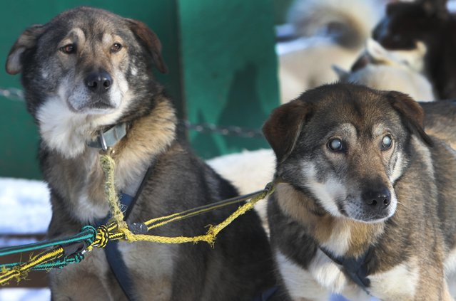 In this photo taken Thursday January 17, 2013, sled dogs Poncho, left, and his blind brother Gonzo are hooked up for a run at the Muddy Paw Sled Dog Kennel,  in Jefferson, N.H. Poncho has taken to helping his blind brother on regular runs. (Photo by Jim Cole/AP Photo)