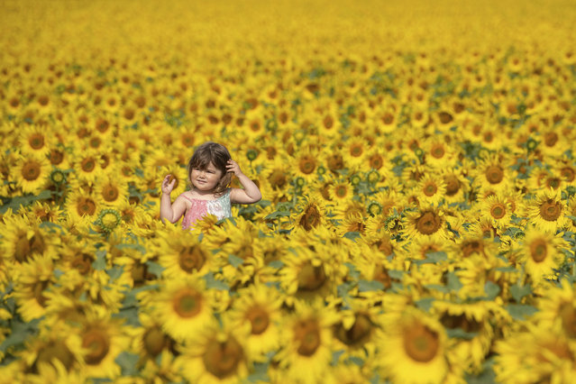 Two-year old Jessica Sanderson amongst the sunflower fields at Vine House Farm near Baston, England, Monday August 10, 2020. (Photo by Joe Giddens/PA Wire via AP Photo)