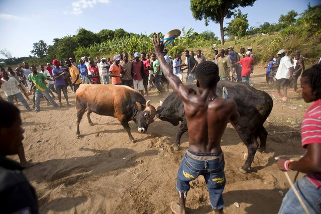 In this November 16, 2014 photo, a man yells as he and others gather to watch two bulls made to fight eachother in Leogane, Haiti. It's over in minutes when a bull retreats in what bettors call a typical ending, although animals occasionally are gored. (Photo by Dieu Nalio Chery/AP Photo)