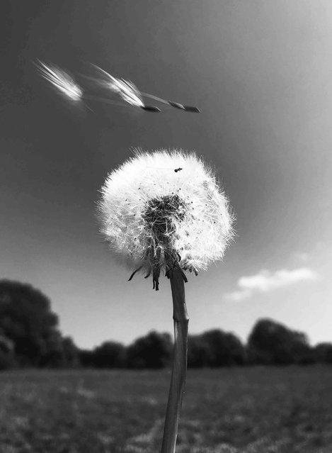 "Ephemerality. Black and White category winner. ""I have watched the transient forms of the dandelions. The fluffy orbs dispersing seeds on the wind to form new life"". (Photo by Mollie Thorne/UK Landscape Photographer of the Year 2020)"