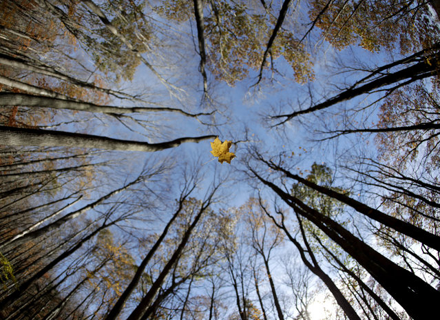A leaf falls from the sky as gentle breeze blows it off a tree branch during a fall day along New York State Route 91, Saturday, October 28, 2017, in Tully, N.J. (Photo by Julio Cortez/AP Photo)