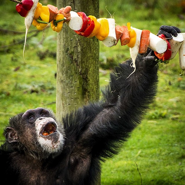 A chimpanzee grabs a garland of fruit and vegetables during a Christmas dinner for the animals of the wildlife zoo Safaripark Beekse Bergen in Hilvarenbeek, The Netherlands, 26 December 2014. The food was hung in Christmas trees, on garlands and hidden in festively wrapped boxes. (Photo by Remko de Waal/EPA)