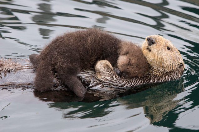 The sea otter mother with her three day old newborn pup ontop of her to keep it dry and warm while it sleeps. This devoted mother otter kept her newborn pup dry as she let the baby ride on her belly. Nature photographer Suzi Eszterhas, 40, spotted the adorable pair of southern sea otters swimming in Monterey Bay, California. The mother lifted the pup out of the water and on to her belly to keep it warm and dry and also blew air into the pup's fur to groom it. Ms Eszterhas was shocked to see the otters come closer to where she was standing and the mother left her child to float alone in the water. (Photo by Suzi Eszterhas/Minden Pictures/Solent News & Photo Agency)