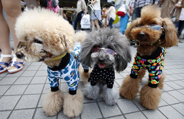 Toy poodles, left to right;  Pu, Peach and Poko pose at a dog show event in Tokyo, Sunday, May 26, 2013. (Photo by Shizuo Kambayashi/AP Photo)