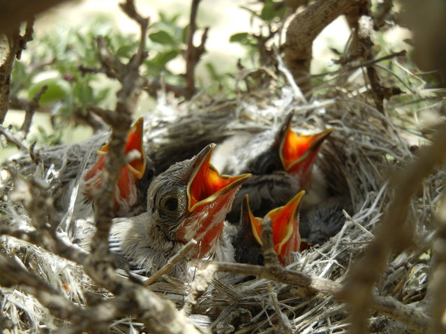 """In Seeking Food!"" Hungry birds waiting for mother! Location: Derak Mountain, Shiraz, Iran. (Photo and caption by Nariman Noorbakhsh Sabet/National Geographic Traveler Photo Contest)"