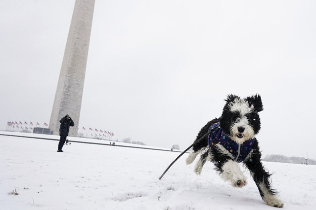 Winnie the sheepadoodle plays in the snow on the National Mall during a snow storm on January 31, 2021 in Washington, DC. Washington is expecting 3 to 5 inches of snow during the first major snow storm of the year. (Photo by Joshua Roberts/Getty Images)