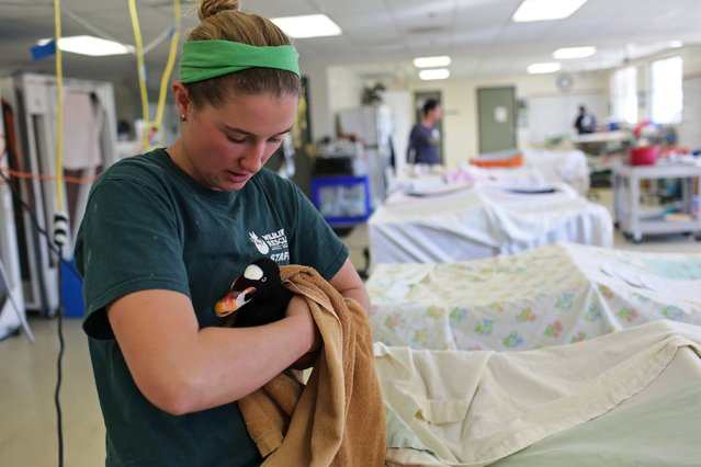 A volunteer checks on a bird after it was cleaned at the International Bird Rescue in Fairfield, California January 20, 2015. (Photo by Robert Galbraith/Reuters)