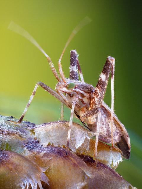 Long Legged Mirid Bug. Phytocoris cf. varipes, Miridae;  Size: 6-7 mm. (John Hallmén)