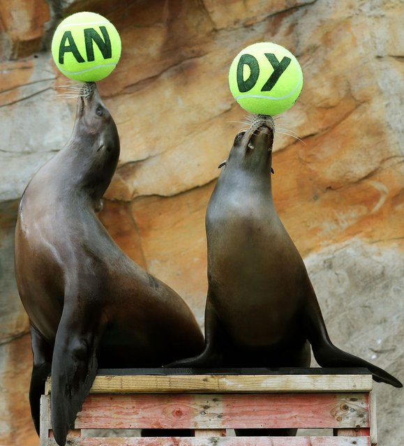 Californian Sea Lions Bali (left) and Bella as they balance tennis balls as staff at Blair Drummond Safari Park near Stirling, on July 6, 2013. (Photo by Andrew Milligan/PA)