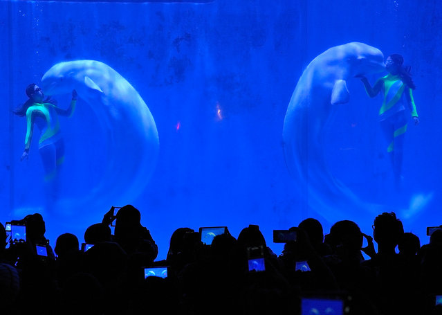 White whales and their trainers present a show at Harbin Pole aquarium in Harbin, China on December 30, 2015. (Photo by Tao Zhang/NurPhoto/Corbis)