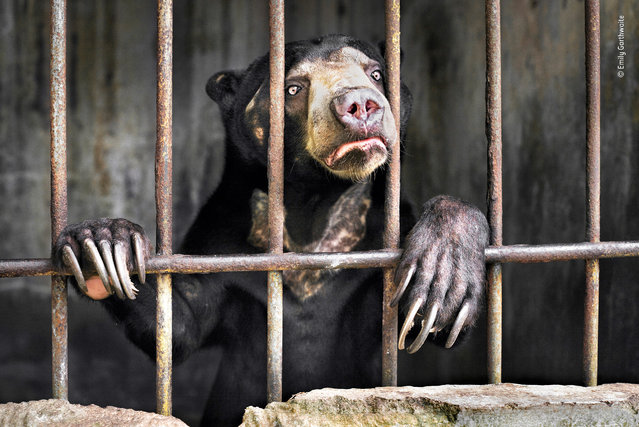 "Witness by Emily Garthwaite, UK. Highly commended, Wildlife Photojournalist Award: Single Image. ""One of several sun bears kept behind the scenes at a zoo in Sumatra, Indonesia, in appalling conditions. Sun bears are the world's smallest bears, now critically endangered. In the lowland forests of Southeast Asia, they spend much of their time in trees, eating fruit and small animals, using their claws to prise open rotten wood in search of grubs. They are threatened by rampant deforestation and the demand for their bile and organs for traditional Chinese medicine"". (Photo by Emily Garthwaite/2018 Wildlife Photographer of the Year)"
