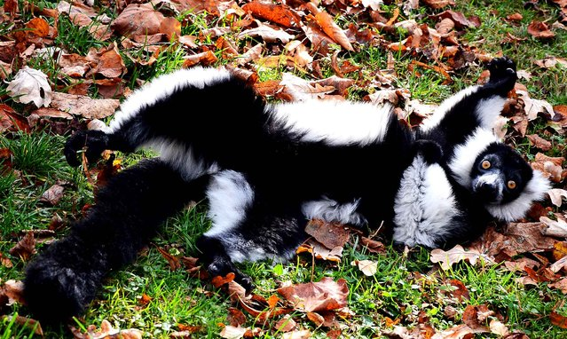 A black-and-white ruffed lemur is pictured in his enclosure at the Zoo in Wroclaw, Poland on October 24, 2013. (Photo by Janek Skarzynski/AFP Photo)